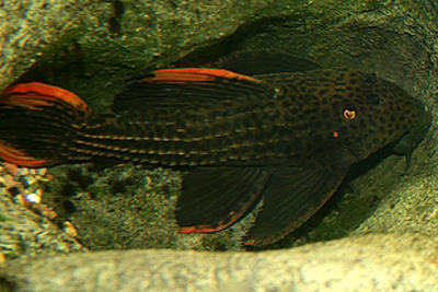 Pseudacanthicus sp.