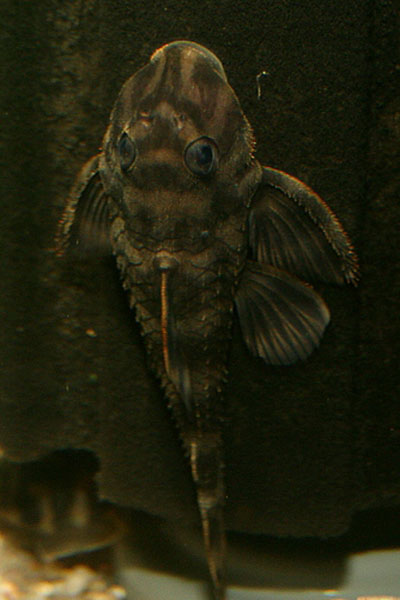 Zonancistrus sp.