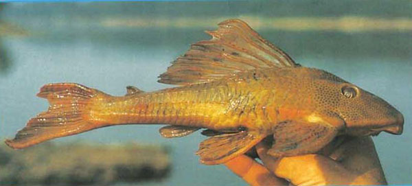 Hypostomus sp.